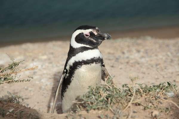 A Patagônia, localizada em territórios argentinos e chilenos, apresenta passeios repletos de animais marinhos aos turistas
