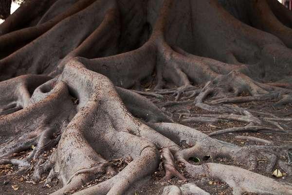 Raízes que crescem muito podem destruir calçadas, tubulações de água e esgotos e até fios aterrados