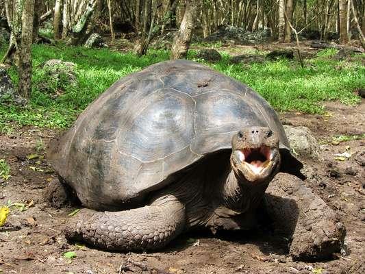 Tartaruga-das-galápagos - O animal mais conhecido do arquipélago são as tartarugas gigantes, consideradas as maiores terrestres existentes no mundo. Elas são encontradas em diversas ilhas das Galápagos e cada espécie tem suas diferenças, devido ao isolamento em seu habitat
