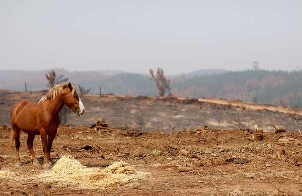 Los animales han sido las víctimas más afectadas por los incendios forestales, ya sean silvestres, mascotas o ganados. Las víctimas fatales se cuentan por cientos, pero también son miles los que han ido en su ayuda.